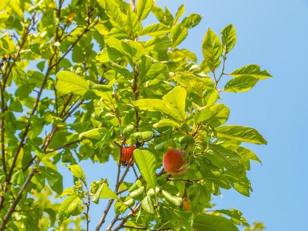 Feuille de prunus sur ciel bleu