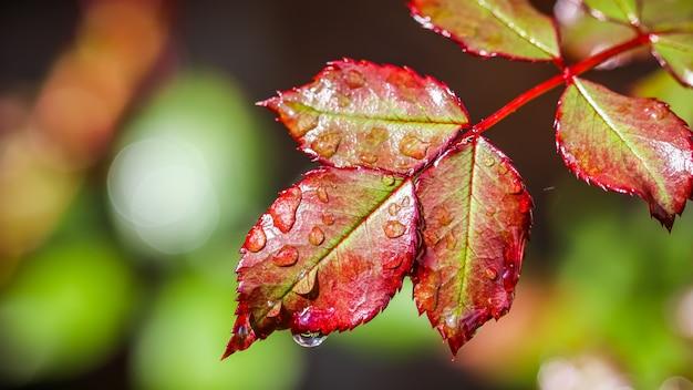 Feuille de rose rouge avec des gouttes de pluie dans le bokeh du jardin d'automne avec réflexion de la lumière
