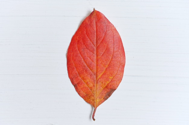 Feuille rouge d'automne sèche sur fond en bois blanc