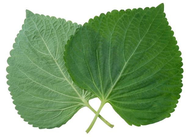 Feuille de sésame isolé sur fond blanc, feuille de périlla shiso vert coréen sur blanc avec un tracé de détourage.
