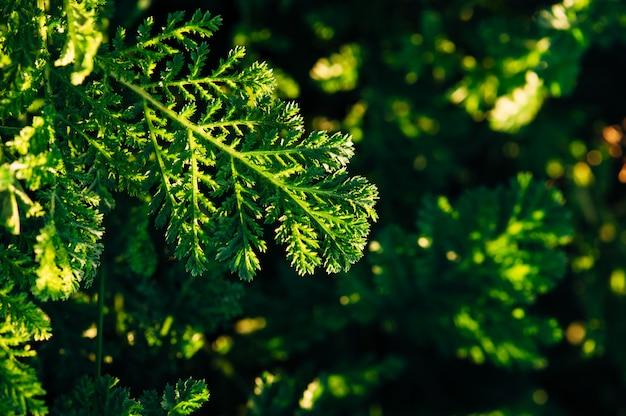 Une feuille de tanaisie sur un fond d'herbe verte par une soirée ensoleillée.
