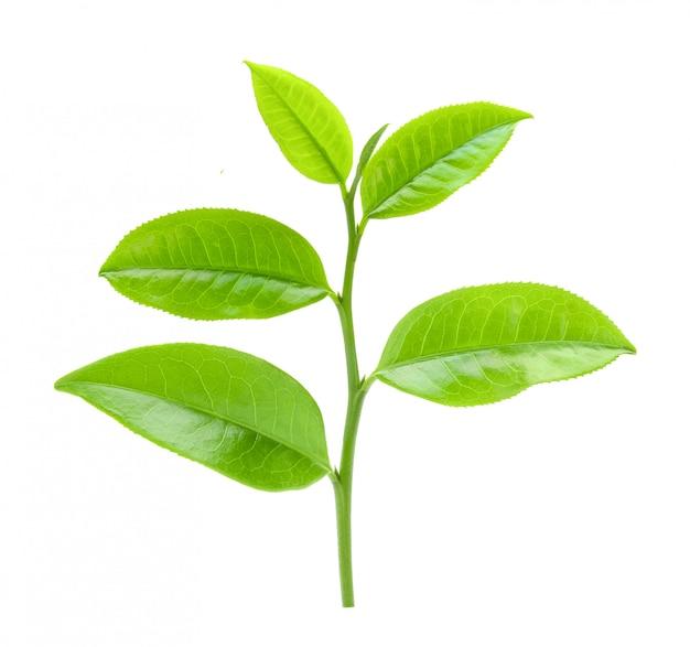 Feuille de thé sur l'espace blanc