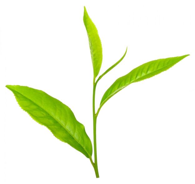 Feuille de thé isolé sur un tracé de détourage blanc