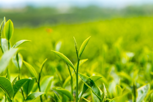 Feuille de thé vert avec fond de ciel autour avec champ de thé vert