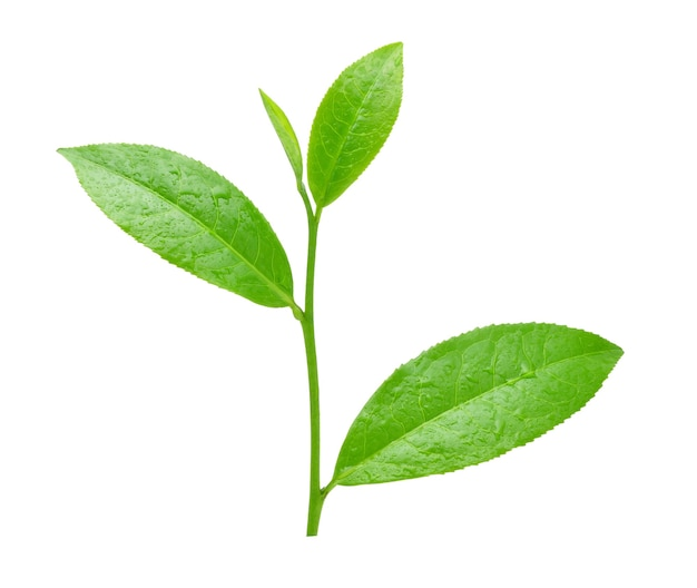 Feuille de thé vert avec des gouttes d'eau isolé sur blanc.