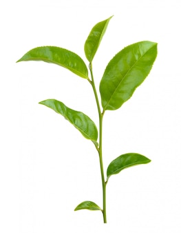 Feuille de thé vert isolé sur blanc