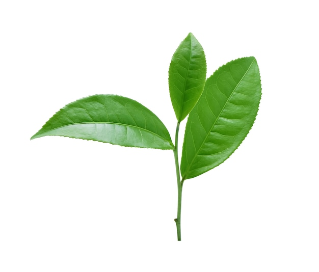 Feuille de thé vert isolé