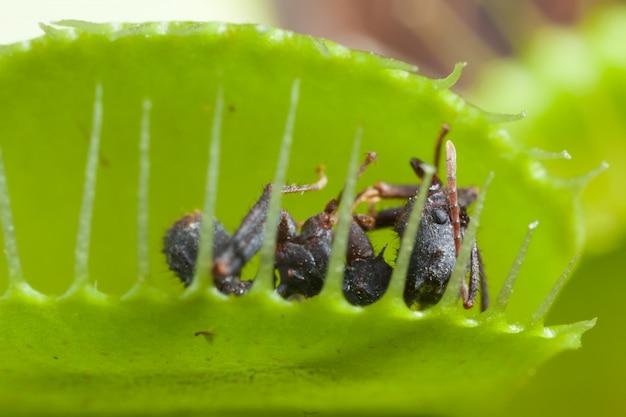 Feuille vénus attrape-mouche manger mouche