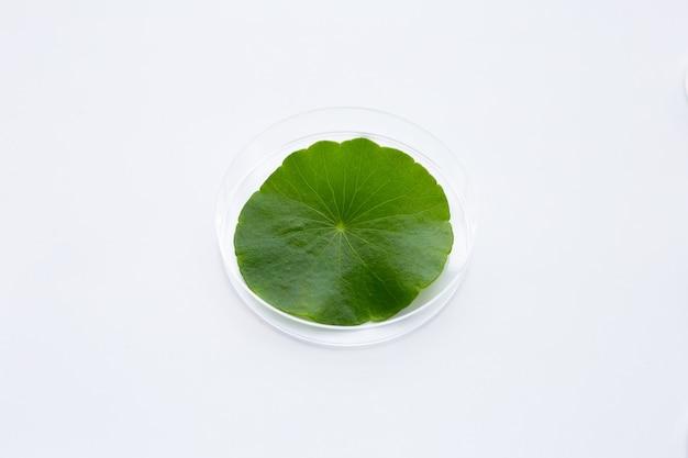 Feuille verte fraîche de centella asiatica dans des boîtes de pétri sur fond blanc.