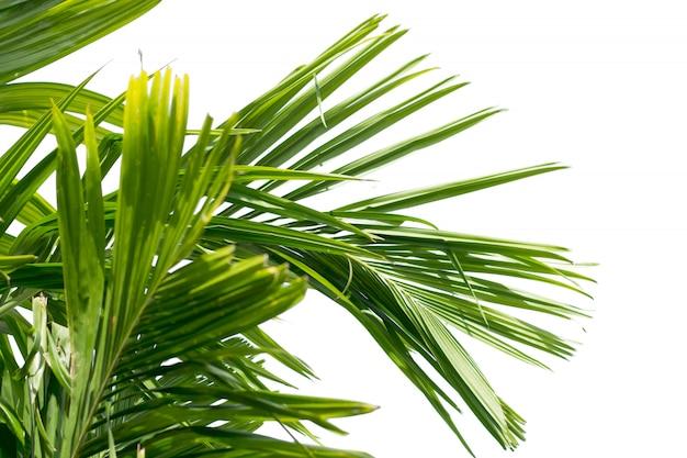 Feuille verte de palmier isolé