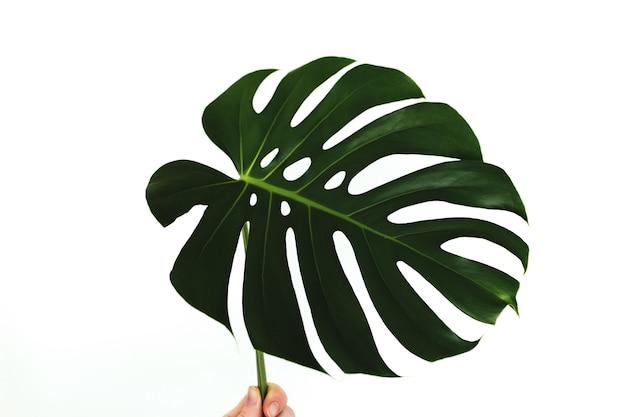 Feuille verte de palmier monstera tenir les doigts sur fond blanc. photo de haute qualité