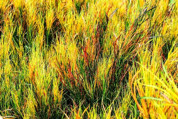 Les feuilles d'arc-en-ciel de croton sont souvent cultivées dans des jardins tropicaux