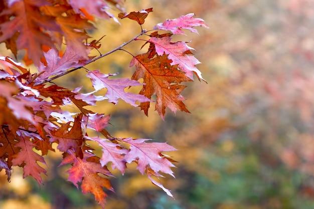 Feuilles d'automne colorées de chêne rouge sur un flou
