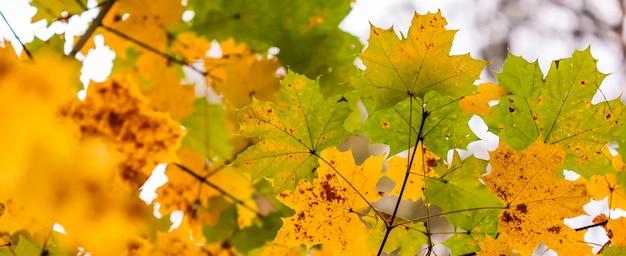 Feuilles d'automne colorées lumineuses sur l'érable en journée ensoleillée