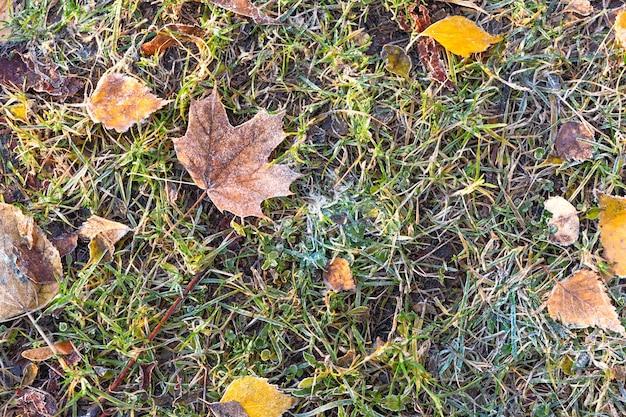 Feuilles d'automne couvertes de la première gelée au sol dans l'herbe verte à la lumière du soleil. fermer.