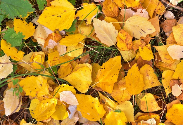 Feuilles d'automne. feuilles de bouleau tombées sur le sol - en arrière-plan