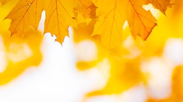 Feuilles d'automne de fond. la chute des feuilles d'érable d'automne fond naturel. feuilles jaunes d'automne comme fond de nature. automne