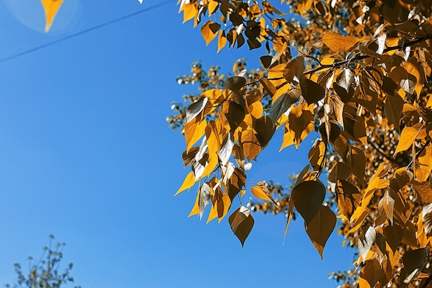 Feuilles d'automne jaunes des arbres sur un ciel bleu clair
