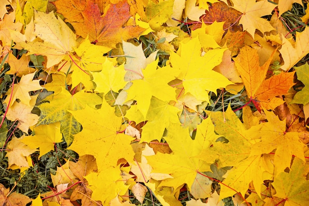 Feuilles d'automne jaunes belles feuilles d'automne résumé, concept de chute des feuilles