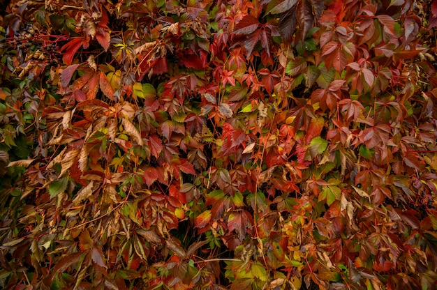 Feuilles d'automne jaunes et rouges. belle texture de saison.