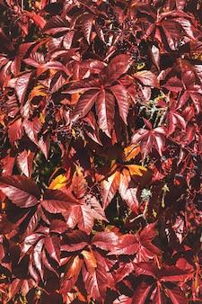 Feuilles d'automne rouge. raisin sauvage.