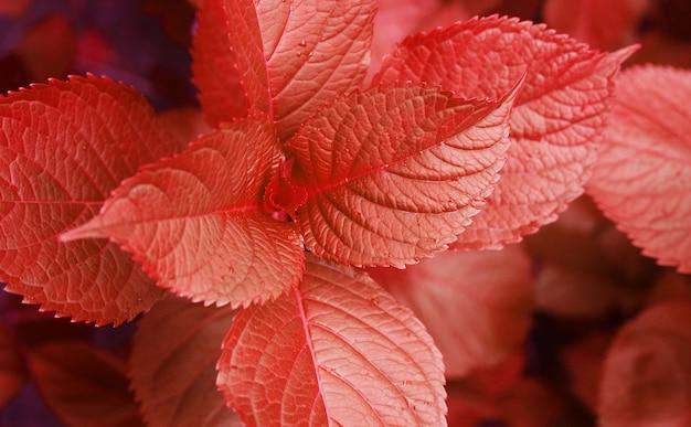 Feuilles d'automne rouge