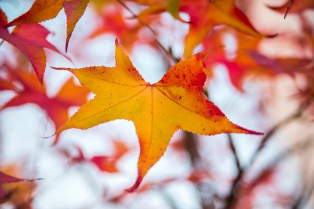 Feuilles d'automne rouges colorées dans l'arbre. oh momiji - acer amoenum. japanese maple - acer palmatum ssp amoenum