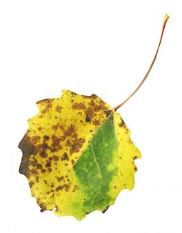 Feuilles d'automne de tremble isolé