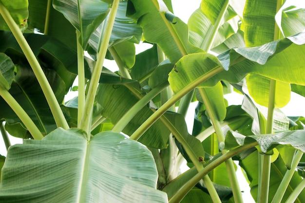 Feuilles de banane