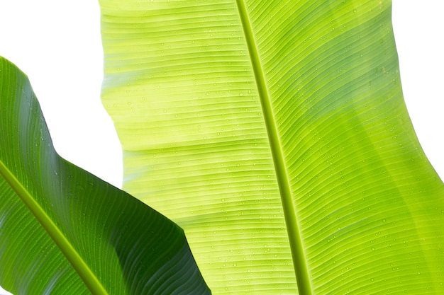 Feuilles de bananier sur fond blanc, feuille verte humide