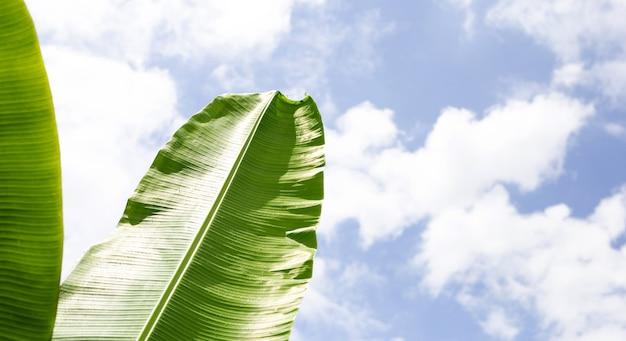 Feuilles de bananier avec fond de ciel bleu et nuages.