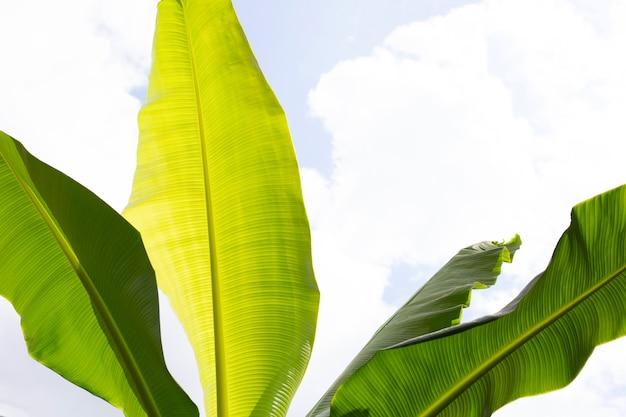 Feuilles de bananier sur fond de ciel bleu et de nuages.