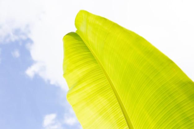 Feuilles de bananier sur fond de ciel bleu.