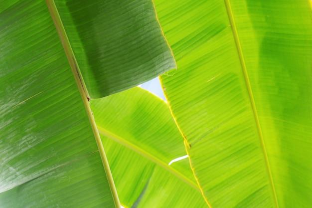 Feuilles de bananier avec fond