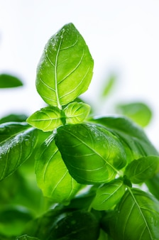 Feuilles de basilic frais, herbe avec des gouttes d'eau et la lumière du soleil