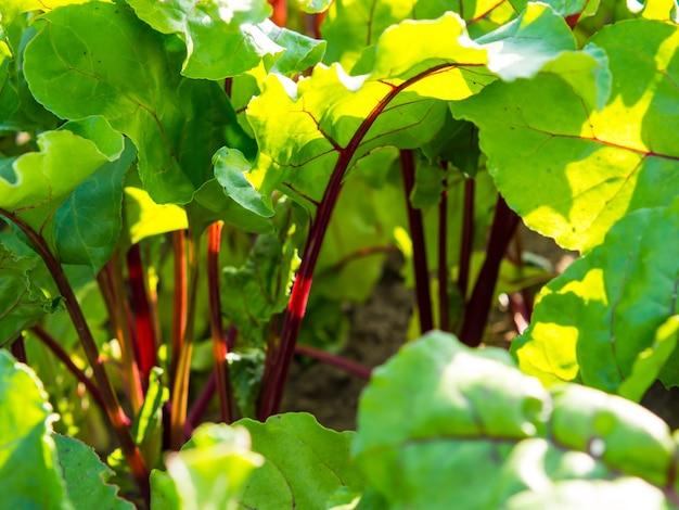 Feuilles de betterave au soleil dans le jardin