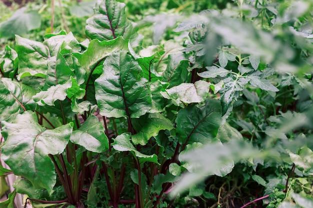 Feuilles de betterave verte à tiges rouges dans le jardin.