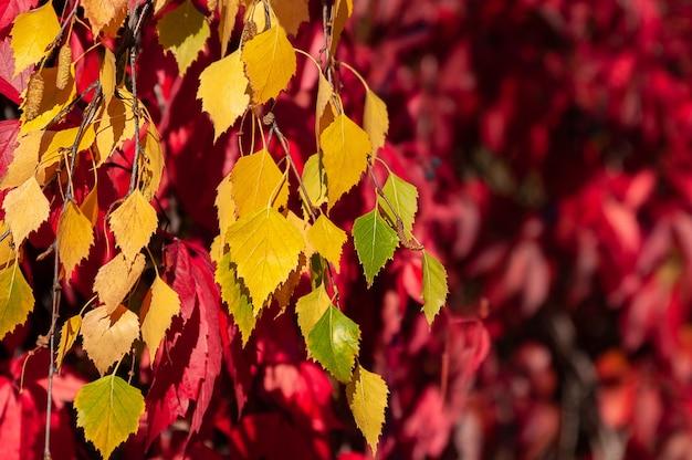 Feuilles de bouleau d'automne jaune sur fond de raisins maiden
