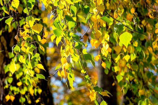 Un de feuilles de bouleau d'automne multicolores par temps ensoleillé
