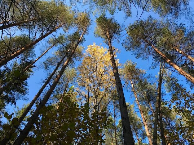Feuilles de bouleau doré sur fond de ciel bleu dans la forêt d'automne en journée ensoleillée