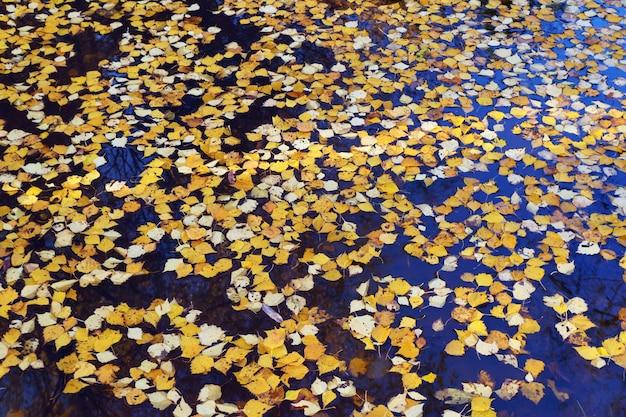 Feuilles de bouleau jaune tombées dans une flaque d'eau, vue de dessus.