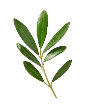 Feuilles et branches d'olivier