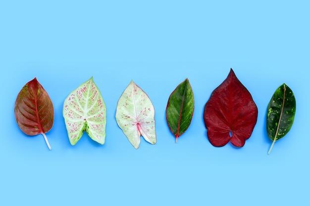 Feuilles de caladium bicolore avec feuilles d'aglaonema sur surface bleue