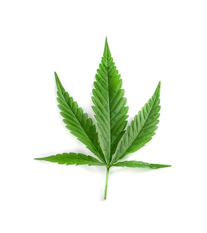 Feuilles de cannabis isolées
