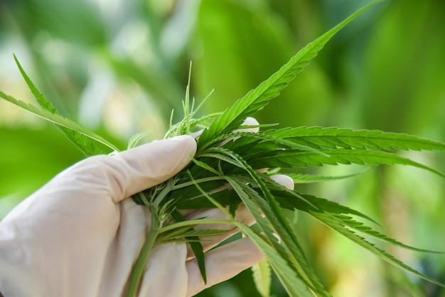 Feuilles de cannabis plante de marijuana sur la main et la nature g