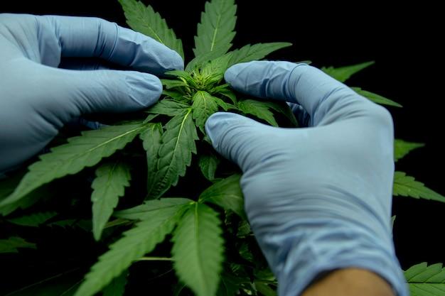 Feuilles de cannabis d'une plante