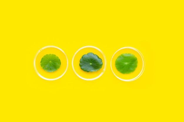 Feuilles de centella asiatica vertes fraîches dans des boîtes de pétri sur fond jaune.