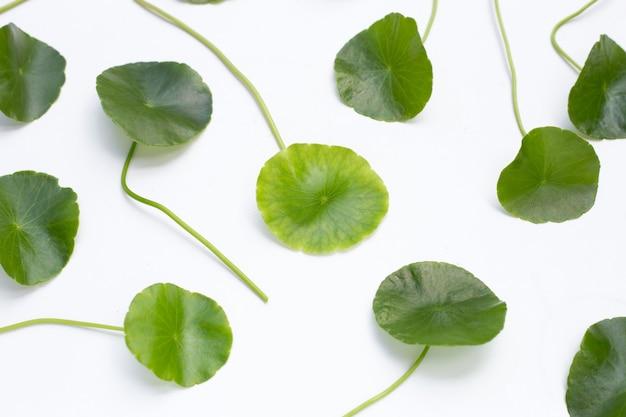 Feuilles de centella asiatica vertes fraîches sur fond blanc.