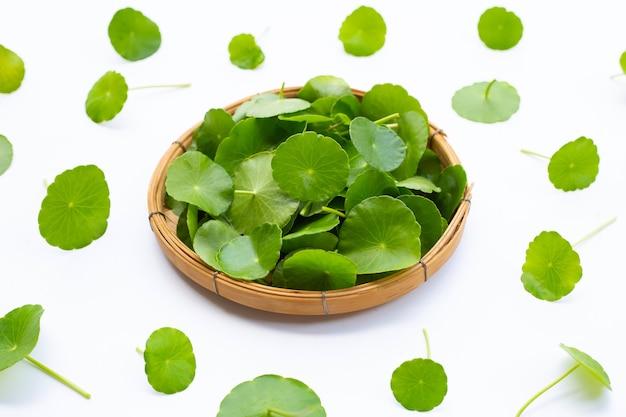 Feuilles de centella asiatica vertes fraîches ou plante de pennywort de l'eau