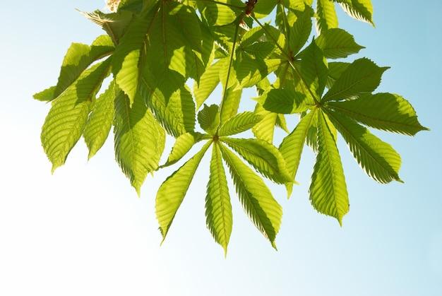 Feuilles de châtaignier vert avec un ciel bleu ensoleillé.